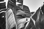 Tropical banana palm fronds stand in monochrome abstract against the sky