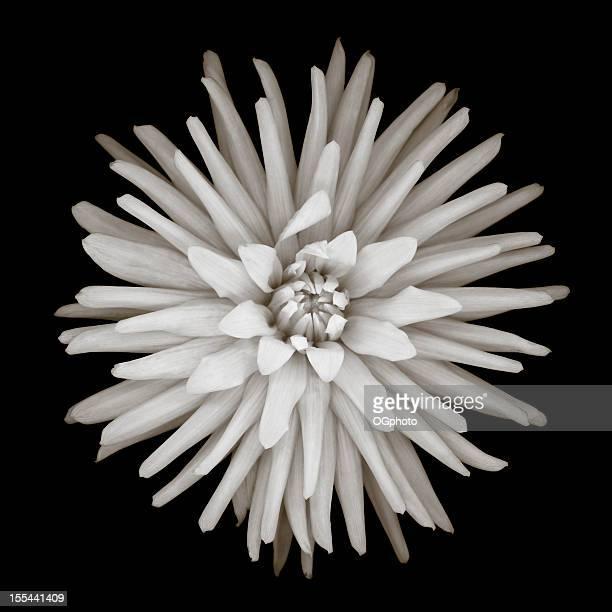 Monochrome cactus dahlia