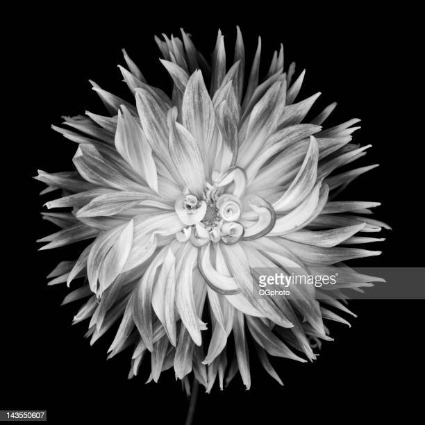 Monochrome curly petaled dahlia