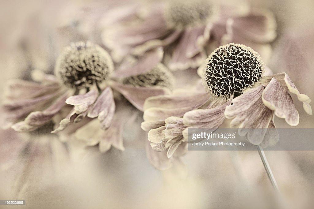 Monochrome image of Helenium flowers - Sneezeweed
