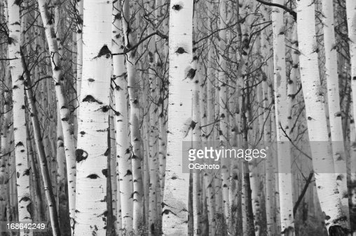 Monochrome image of white birch tree forest
