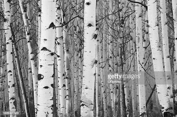 Monochrome image of white birch tree forest