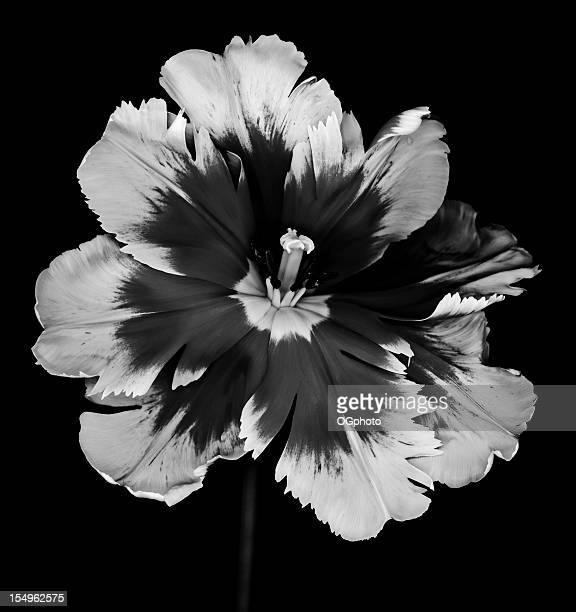Monochrome Parrot Tulip isolated on black