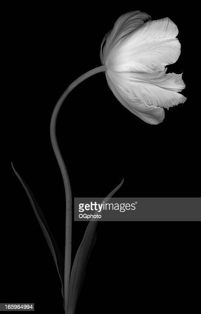 Monochrome parrot tulip on black background