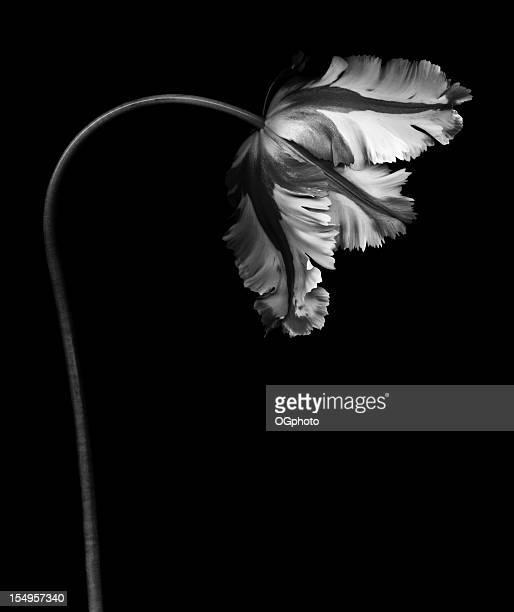 Monochrome parrot tulip