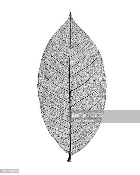 Monochrome photo of skeleton leaf on white background