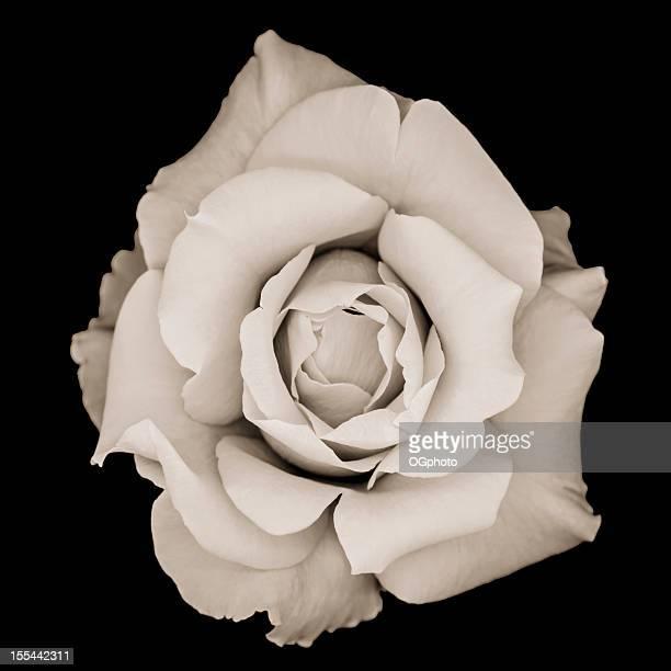 Monochrom Rose