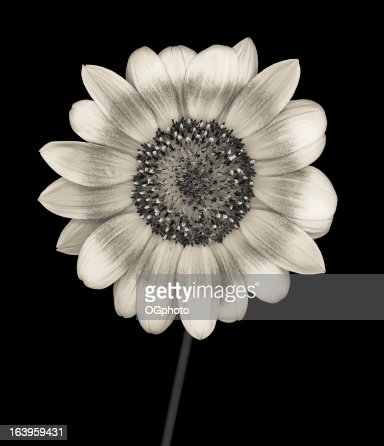 Monochrome sunflower isolated on black : Stock Photo