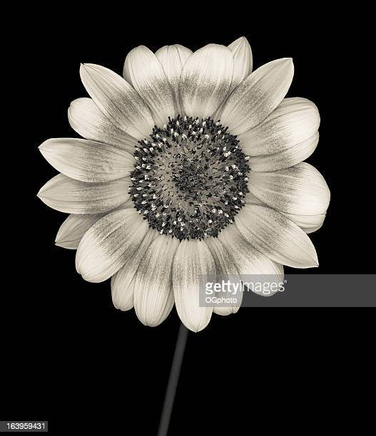 Monochrome sunflower isolated on black