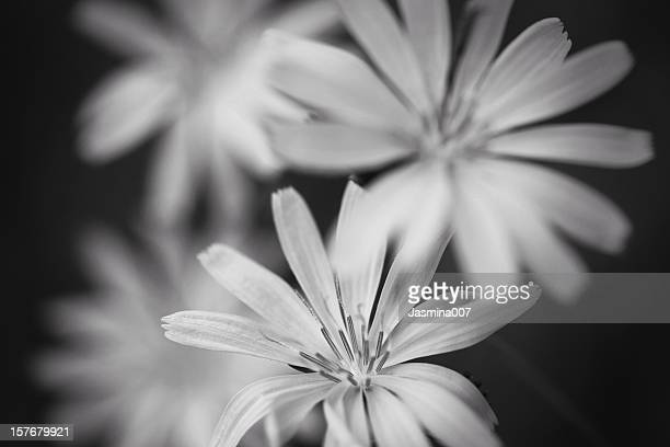 Wildflower monochrome