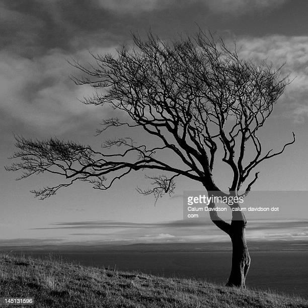 Monochrome winter beech tree
