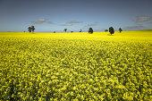 Monoculture Yellow