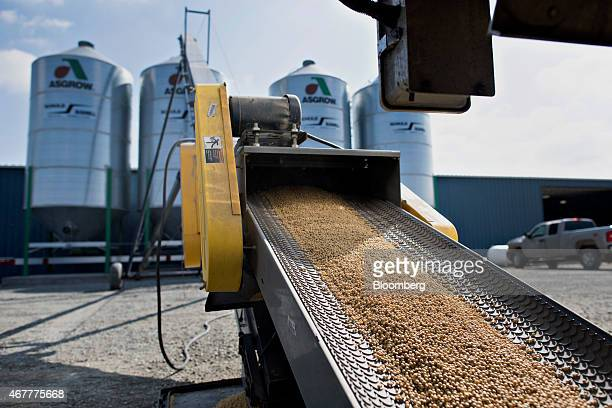 Monsanto Co Asgrow brand soybeans travel along a conveyer during delivery at the Crop Protection Services facility in Manlius Illinois US on Friday...