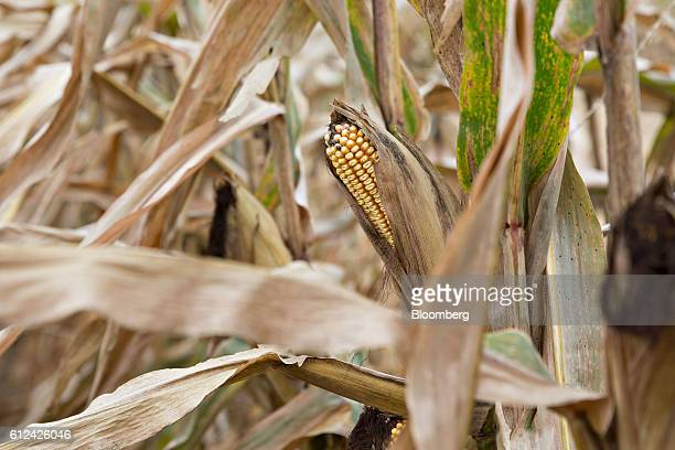 Monsanto Co Dekalb brand corn plants stand in a field in Tiskilwa Illinois US on Friday Sept 30 2016 Monsanto is scheduled to release earnings...