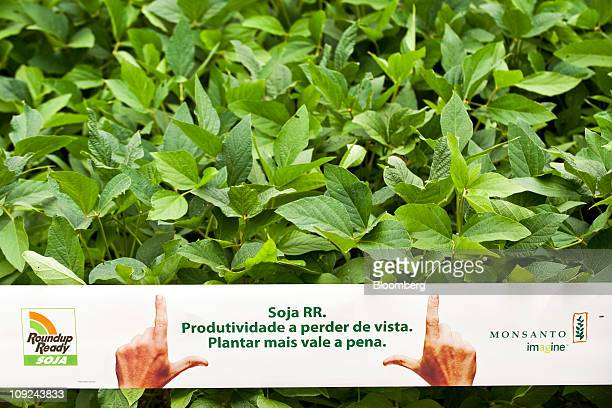 Monsanto Co insectprotected Genuity Roundup Ready 2 Yield soybean plants grow in a research field near Pirassununga Brazil on Tuesday Feb 15 2011...