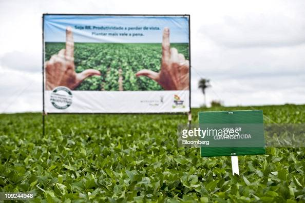 Monsanto Co Roundup Ready Yield soybean plants grow adjacent to new insectprotected Genuity Roundup Ready 2 Yield soybean plants in a research field...
