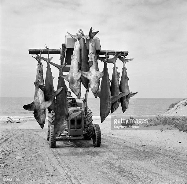 Monsieur Roland Leclerc a pêché une dizaine de 'taupes' sorte de thons blancs pris dans ses filets dans la pêche au maquereau circa 1960 à...