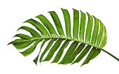 Monstera deliciosa leaf or Swiss cheese plant, isolated on white background