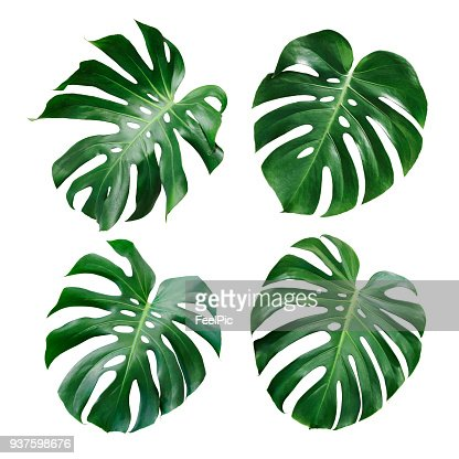 Monstera deliciosa tropical leaf isolated on white background : Stock Photo