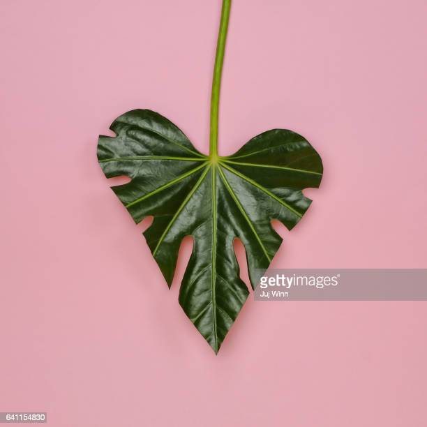 Monstera leaf in the shape of a heart