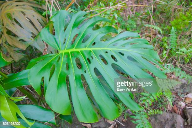 Monstera shrub growing in Upcountry Maui, Hawaii