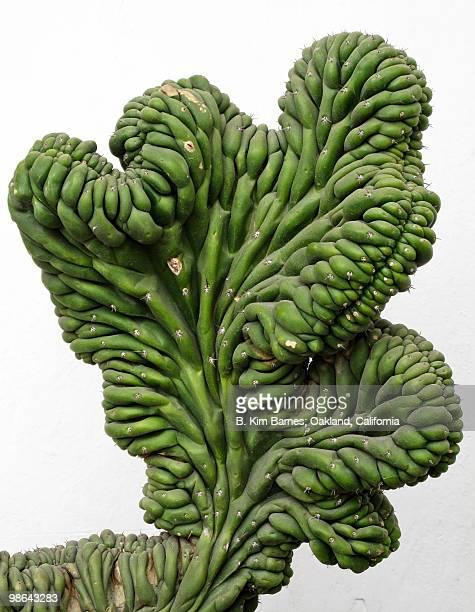 Monstrous cactus