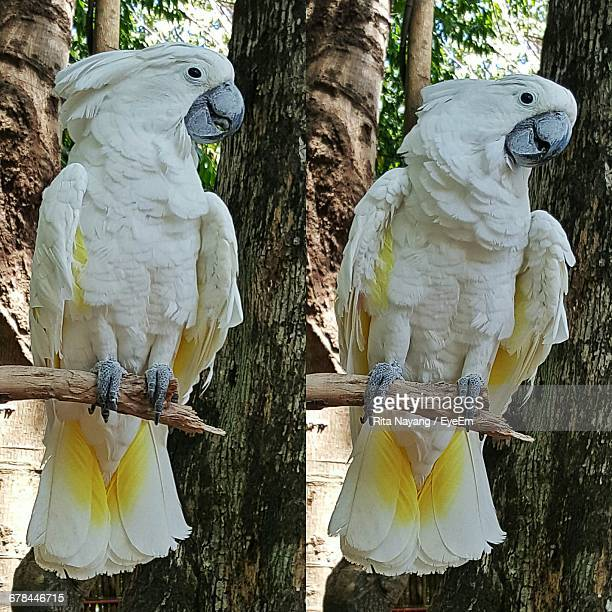 Montage Of Sulphur-Crested Cockatoo Perching On Branch
