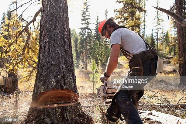 USA, Montana, Lakeside, lumberjack felling tree