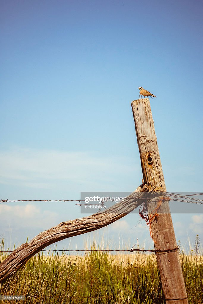 Montana Meadowlark on a fencepost singing : Stock Photo