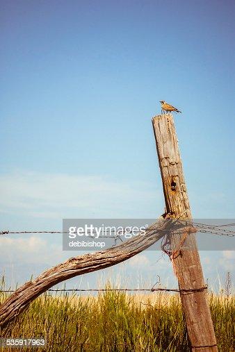Montana Meadowlark on a fencepost singing : Stock Photo