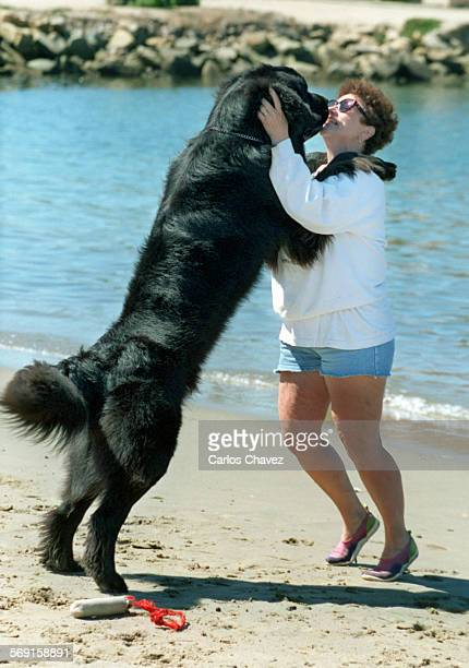 Montana ' Monty' a Newfoundland 7–month–old dog plays with owner/trainer Peggy Lange during a training session near the Channel Island Harbor