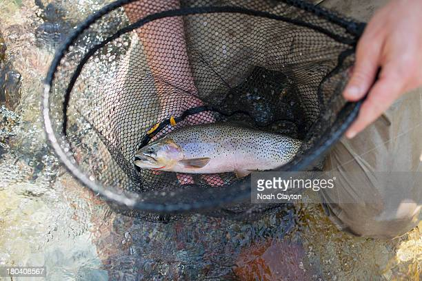 USA, Montana, North Fork, Blackfoot River, Fisherman holding fresh trout in net