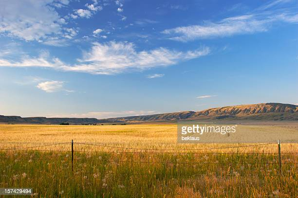 Montana Wheat Field