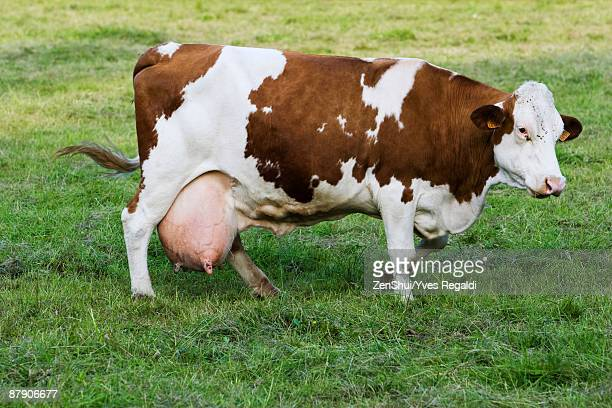 Montbeliard dairy cow, side view