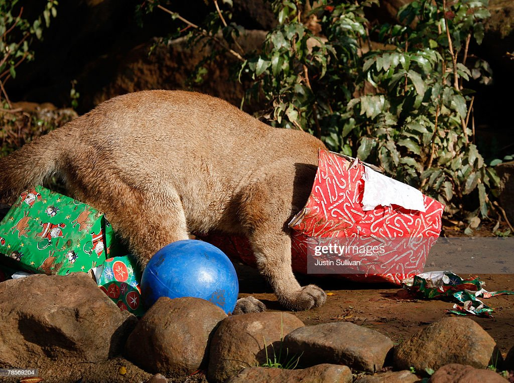 Christmas Gifts For 10 Month Old Part - 42: A 10 Month-old Cougar Cub Named Ashkii Gets His Head Into A Christmas Gifts