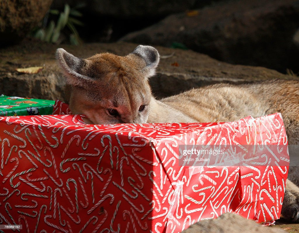 Christmas Gifts For 10 Month Old Part - 36: A 10 Month-old Cougar Cub Named Yazhi Uses His Teeth To Open Christmas Gifts