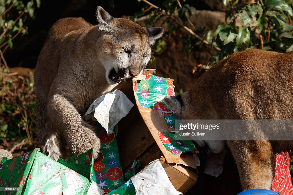 Christmas Gifts For 10 Month Old Part - 37: 10 Month-old Cougar Cubs Named Ashkii (L) And Takoda Open Christmas Gifts