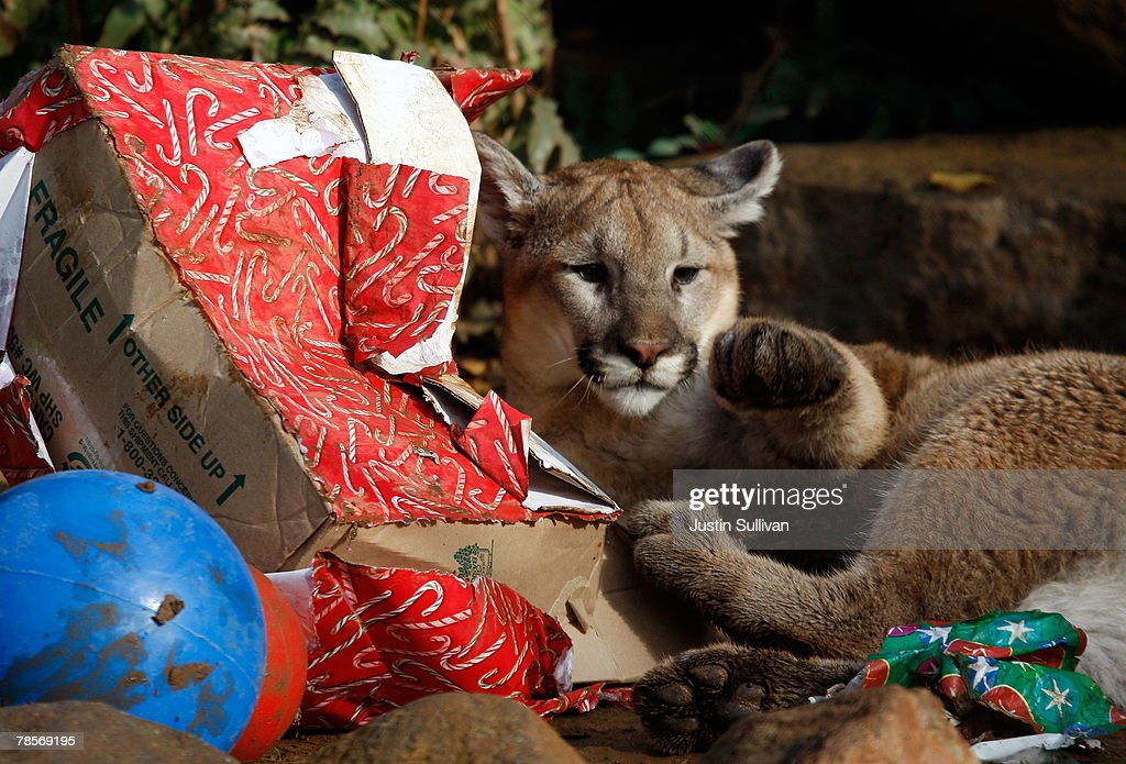 Christmas Gifts For 10 Month Old Part - 32: A 10 Month-old Cougar Named Takoda Opens A Christmas Gift Filled With Play  Toys