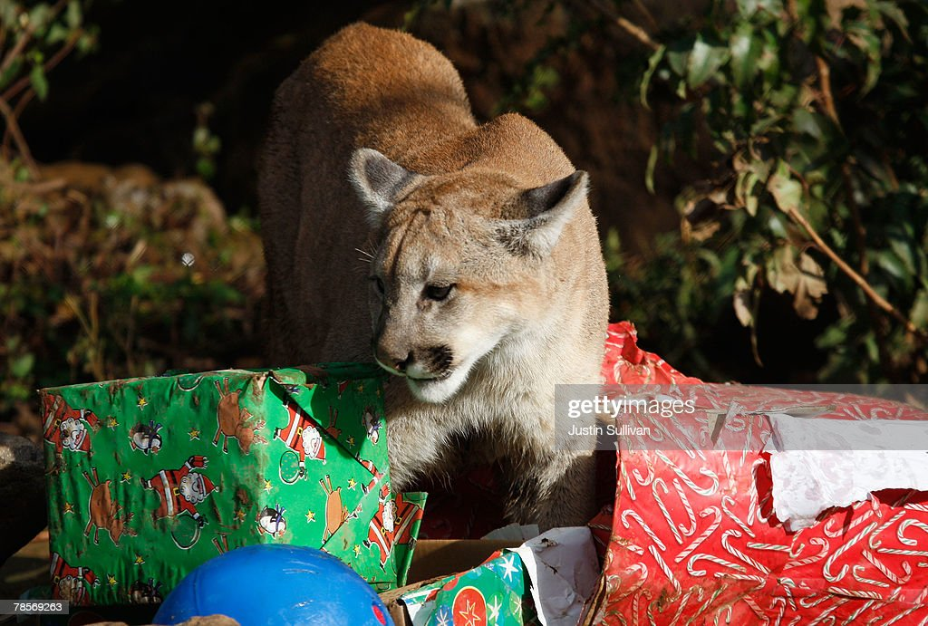 Christmas Gifts For 10 Month Old Part - 31: A 10 Month-old Cougar Named Takoda Opens Christmas Gifts Filled With Play  Toys And
