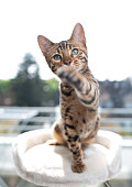 young playful bengal cat on top of scratching post in front of balcony looking at camera curiously raising its paw