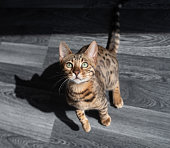 top view of a young bengal cat standing on a gray wooden floor looking up at camera begging for food