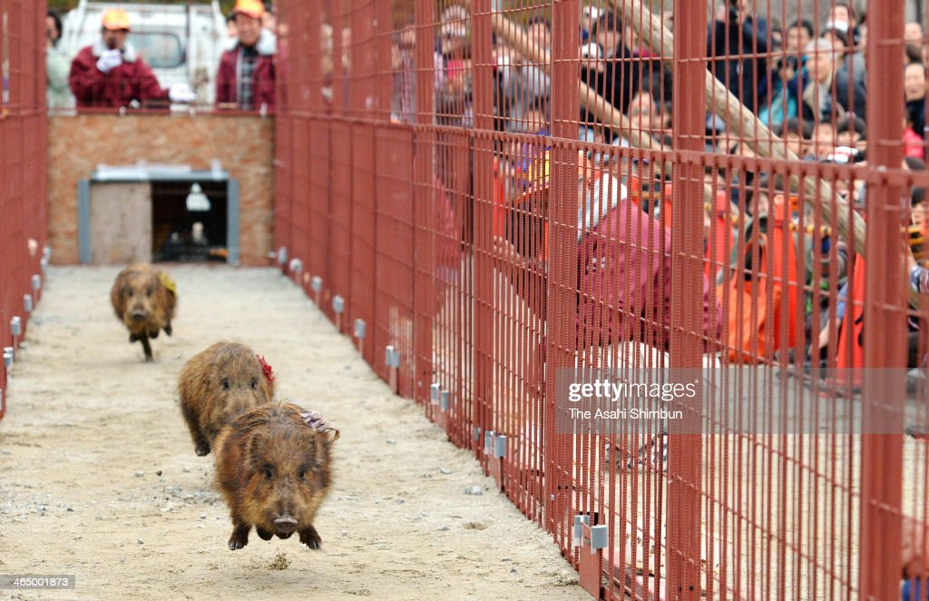 6 months old boar cubs run during the Boar Race Festival on January 25, 2014 in Sasayama, Hyogo, Japan. The annual event takes place to promote boar meat, the city's speciality.