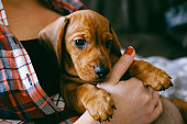 8 weeks old smooth hair brown dachshund puppy resting in the hands of its female owner in a colourful plaid shirt