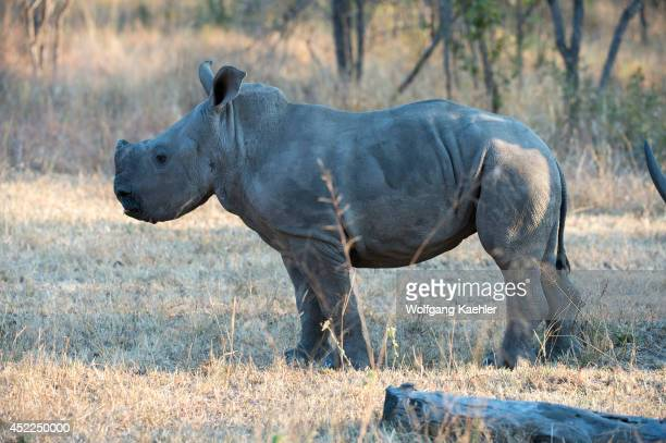 6 months old White rhinoceros or squarelipped rhinoceros baby in the Sabi Sands Game Reserve adjacent to the Kruger National Park in South Africa