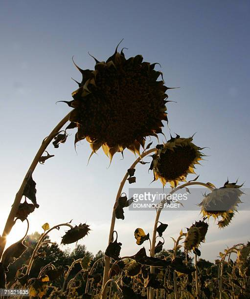 Picture taken 26 July 2006 in a sunflower fields near Montpellier southern France as Europe baked again today in the grip of a deadly heatwave that...