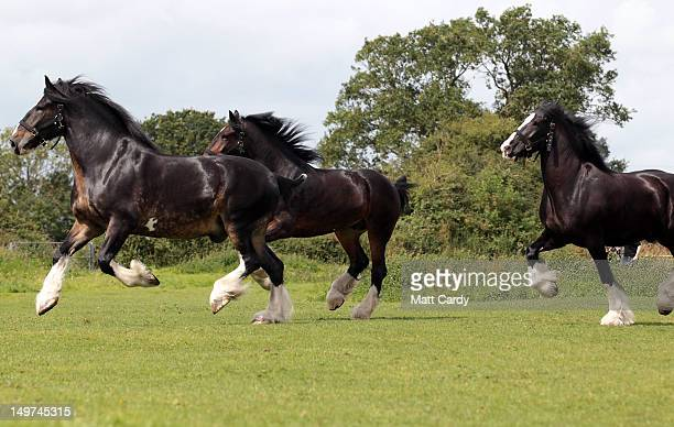 Monty Prince and Max the Wadworth brewery shire horses run in a field after being given a pint of beer outside the Raven Inn in Poulshot as they...