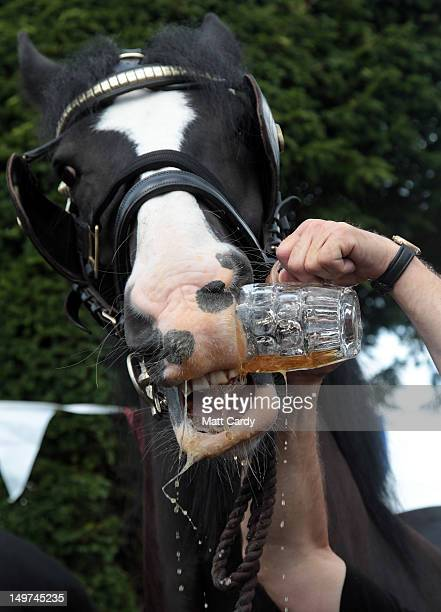 Monty the Wadworth brewery shire horse gets given a pint of beer outside the Raven Inn in Poulshot as he starts his twoweek annual holiday on August...