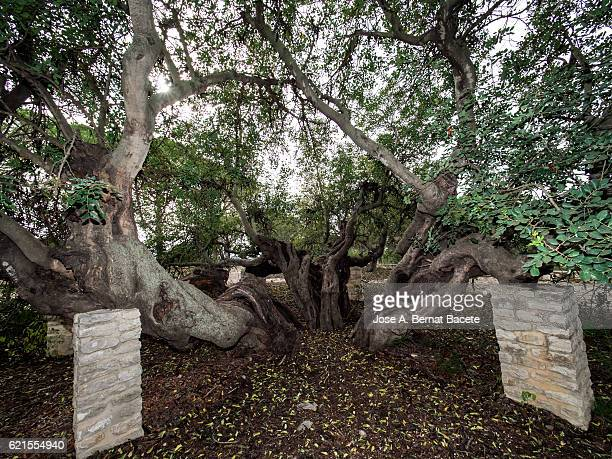 Monumental tree of more than 350 years.. Ancient Carob tree (Ceratonia siliqua)