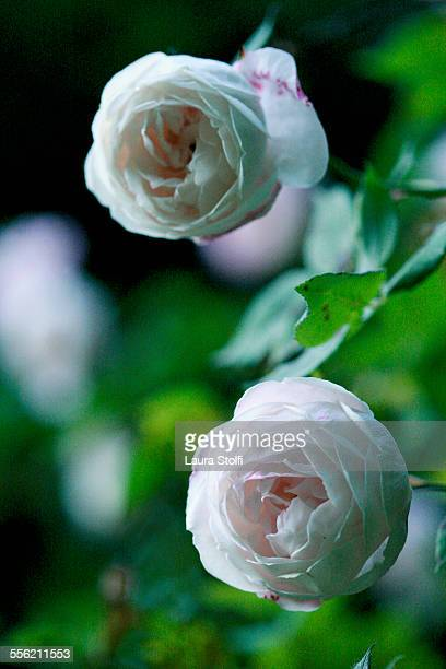 Moody image of blush noisette roses in bloom