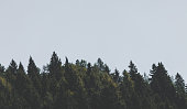 A picture of a moody desaturated tree line of a pine forest.